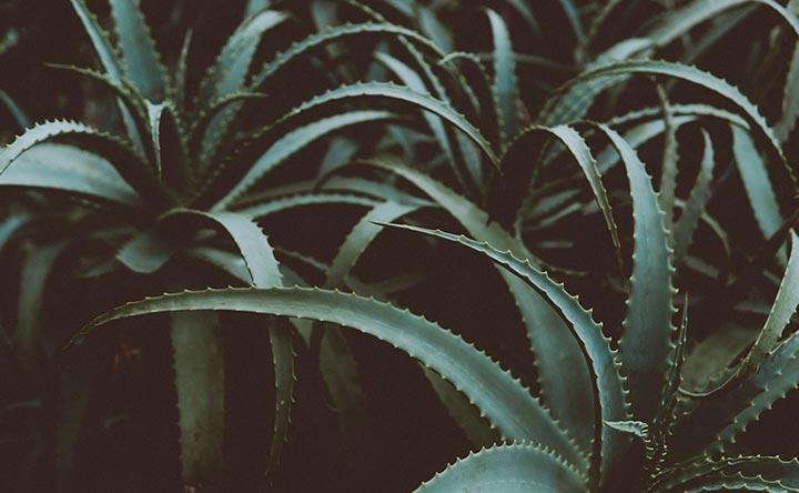 Aloe valido sostegno contro il tumore cerebrale, lo studio italiano