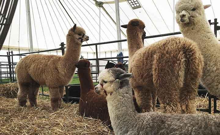 Il super anticorpo dell'alpaca in grado di bloccare la crescita di alcuni tumori