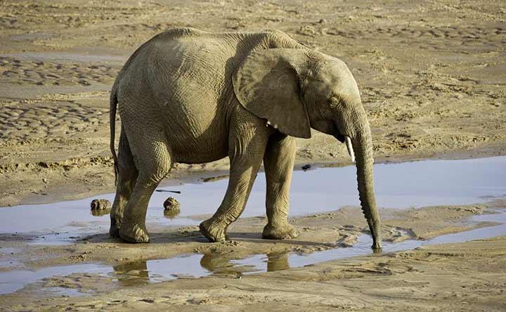 Gli elefanti non si ammalano di cancro: vediamo perché