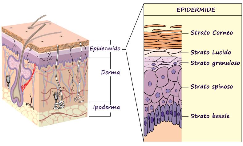 Perché la pelle si danneggia durante i trattamenti oncologici?